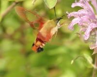Traça de colibri Imagens de Stock Royalty Free