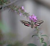 Traça de colibri com flores Fotos de Stock