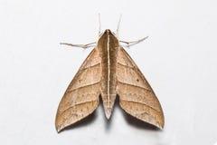 Traça de falcão dos dolichoides de Ampelophaga Imagens de Stock Royalty Free