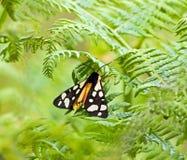 traça de tigre do Creme-ponto Foto de Stock Royalty Free
