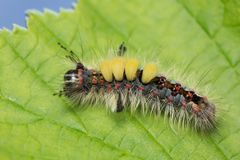 Traça de tufo oxidada, larva do antiqua de Orgyia na folha imagens de stock