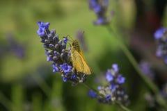 A traça e a flor Foto de Stock