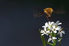 Traça e formigas de colibri Fotos de Stock Royalty Free