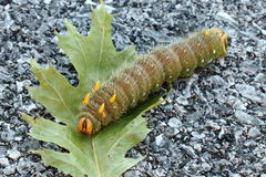 Traça imperial Caterpillar foto de stock