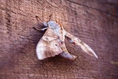 Traça no fundo de madeira Foto de Stock Royalty Free
