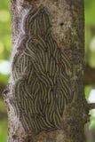 Traça processionary do carvalho - lagartas do processionea de Thaumetopoea na árvore no verão Imagens de Stock Royalty Free