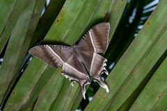 Traça tropical de Swallowtail Foto de Stock