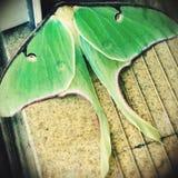Traça verde fotografia de stock
