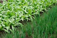 Traçages végétaux des légumes Photographie stock