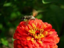 Traças de falcão e flor do zinnia Foto de Stock Royalty Free