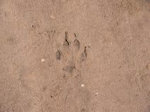 Traço do cão na terra Fotografia de Stock
