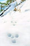 Traços de lebre em uma inclinação coberto de neve Foto de Stock Royalty Free