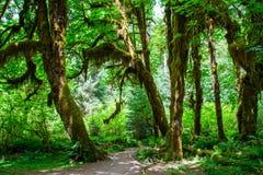 Traînée dans Hoh Rainforest, parc national olympique, Washington Etats-Unis Images libres de droits