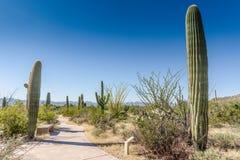 Traînée de cactus - parc national de Saguaro - AZ Images libres de droits