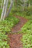 Traînée de forêt de Taiga garnie des fleurs de Bunchberry Photographie stock libre de droits