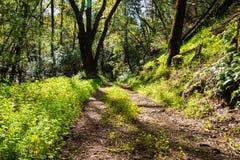"""Traînée de marche par les forêts de parc d'Uvas le comté de Canyon, mineur vert \ """"laitue de s couvrant la terre, le comté de San photographie stock"""