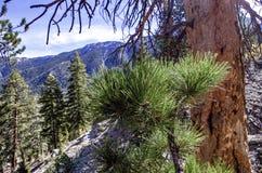 Traînée supérieure de boucle de Bristlecone, Mt Charleston, Nevada photo libre de droits