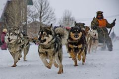 Traîneau de chien Le Malamute d'Alaska est tout à fait un grand type indigène chien, conçu pour travailler dans une équipe, une d photos libres de droits