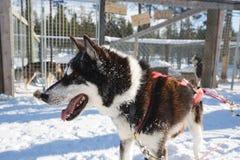 Traîneau enroué de chien Photos libres de droits