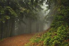 Traînez dans une forêt foncée de pin sur les pentes de la montagne Carpathiens, l'Europe Carpathien, Ukraine, l'Europe photos stock