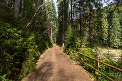Traînez par les arbres grands dans une forêt luxuriante photos stock
