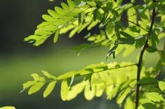 Tra i van Luce fiori stock afbeeldingen