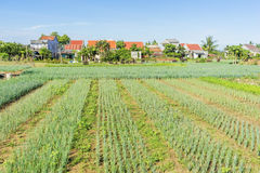 Tra Que village, Hoi An, Vietnam. Morning, Organic vegetable field in Tra Que village near Hoi An old town, Vietnam. Tra Que village where biological vegetable Royalty Free Stock Photos