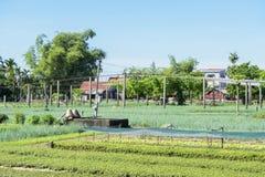 Tra Que village, Hoi An, Vietnam. Organic vegetable field of Tra Que village, Hoi An old town, Vietnam. Tra Que village where biological vegetable cultivation Stock Photos