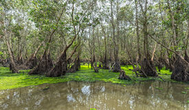 Tra Su Cajeput Forest Side Duckweed Float Array Stock Photos