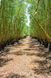 Tra Su flooded forest in dry season, Mekong Delta Royalty Free Stock Photos