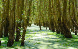Tra Su flooded forest, Mekong Delta Royalty Free Stock Image