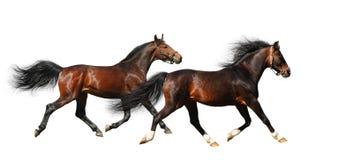 Trab mit zwei Stallions Stockfotografie
