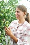 Trabajador agrícola de sexo femenino que comprueba las plantas de tomate en invernadero Fotos de archivo libres de regalías