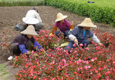 Trabajador chino que planta las flores Imágenes de archivo libres de regalías