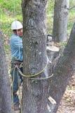 Trabajador con la motosierra que corta un árbol Imagen de archivo libre de regalías