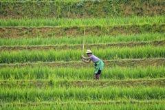 Trabajador de campo del arroz Imagen de archivo libre de regalías