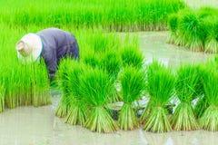 Trabajador de campos del arroz Fotografía de archivo libre de regalías