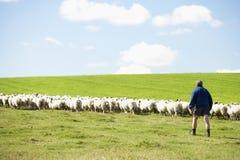 Trabajador de granja con la multitud de ovejas Foto de archivo libre de regalías