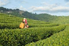 Trabajador de granja del té verde que va a cosechar el té verde orgánico imagenes de archivo