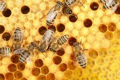 Trabajador de la abeja Foto de archivo libre de regalías