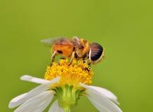Trabajador de la abeja Imágenes de archivo libres de regalías