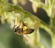 Trabajador de la abeja de la miel que recoge el polen Fotos de archivo