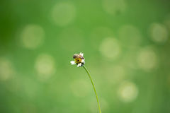 Trabajador de la abeja que recoge el polen de las flores de la hierba Imágenes de archivo libres de regalías