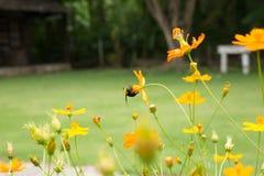 Trabajador de la abeja y campo de flor gigantes del cosmos Foto de archivo libre de regalías