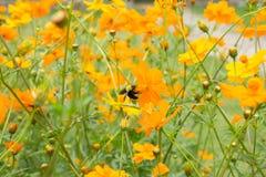 Trabajador de la abeja y campo de flor gigantes del cosmos Fotografía de archivo