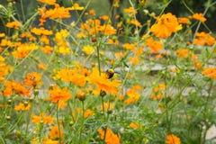 Trabajador de la abeja y campo de flor gigantes del cosmos Fotos de archivo