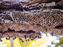 trabajador de la avispa y avispa de la colmena en árbol del plumeria en jardín Foto de archivo