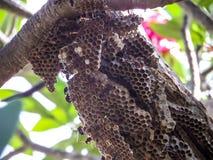 trabajador de la avispa y avispa de la colmena en árbol en jardín Fotos de archivo