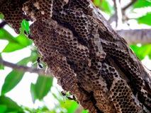 trabajador de la avispa y avispa de la colmena en árbol en jardín Imagen de archivo libre de regalías