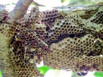 trabajador de la avispa y avispa de la colmena en árbol en jardín Fotografía de archivo libre de regalías